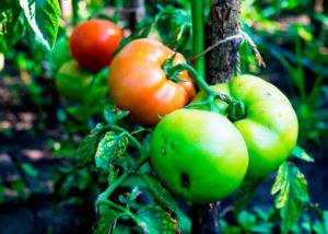 Mancha Negra del Tomate