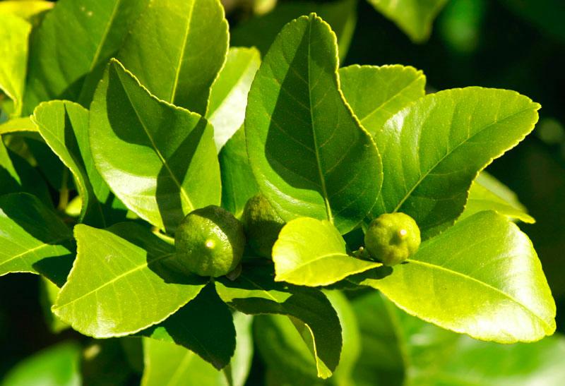 Limonero con hojas arrugadas