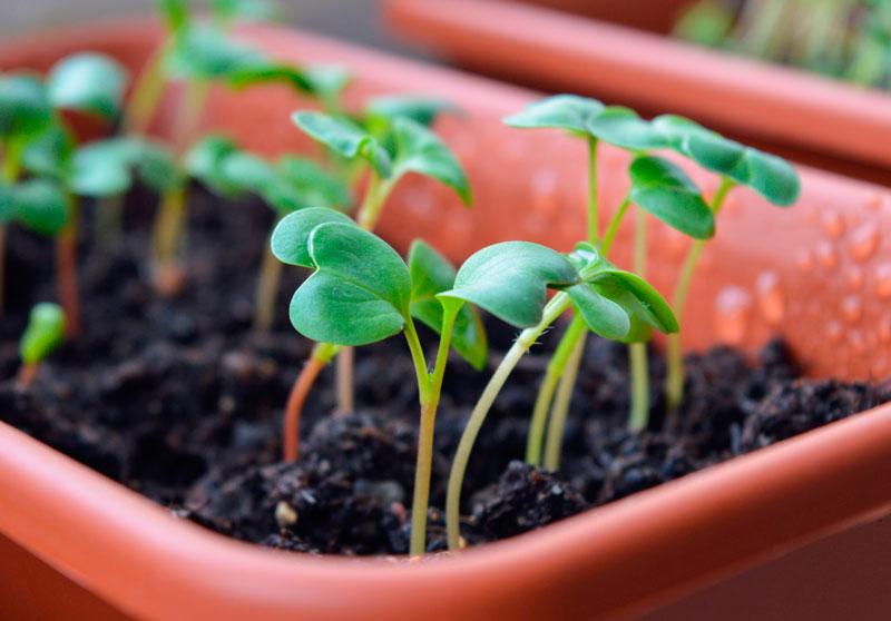 Distancia de siembra entre cultivos